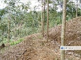 Photo Rubber plantation land in kelantan