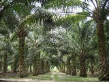 Photo Palm Oil Agriculture land