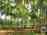 Photo 3 Hectare Coconut Farm For Sale at Montevista,...