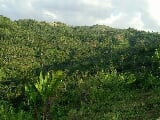 Photo Almost 6 hectares farm land with coconuts i...