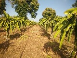 Photo Dragon Fruits Farm for sale in Alfonso Cavite,...